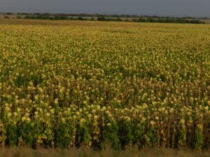 Huge sunflower fields
