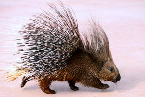 Porcupine w Quills Up,Right