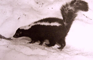 Skunk w Tail Up, Left.